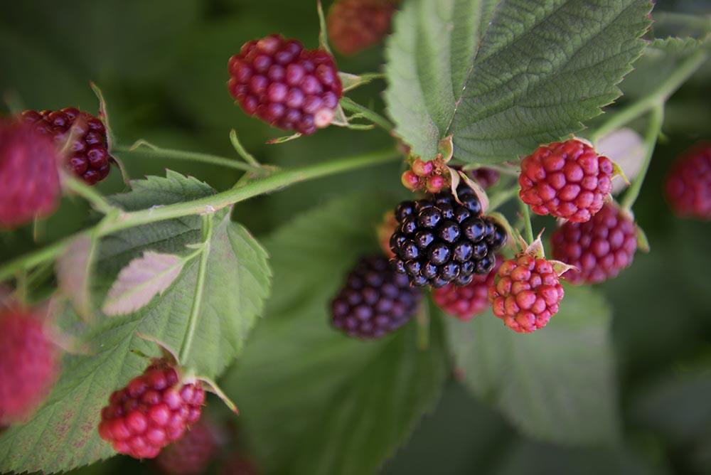 Oregon Chester blackberry